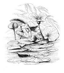 Waterlily, vintage engraving.