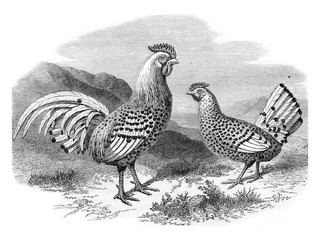 Hamburg chicken and silver rooster, vintage engraving.