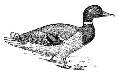 Duck, vintage engraving.