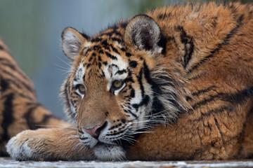 Siberian Tiger Cub (Panthera Tigris Altaica)/Close up portrait of Siberian Tiger Cub