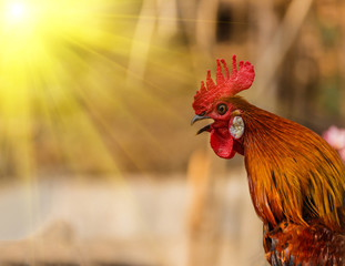 Rooster crowing in the morning sun