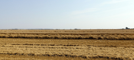 harvesting wheat, cereals