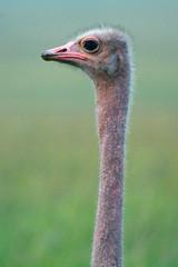 Maasai ostrich, Maasai Mara Game Reserve, Kenya