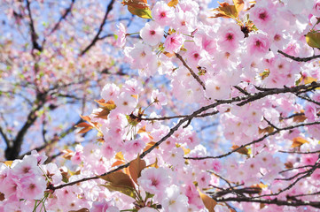 Spring cherry blossom blur background