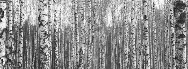 Trunks of birch trees,black and white natural background