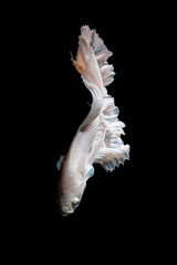 Foto op Aluminium Vissen Close up of Betta fish or Siamese fighting fish in movement isolated on black background.