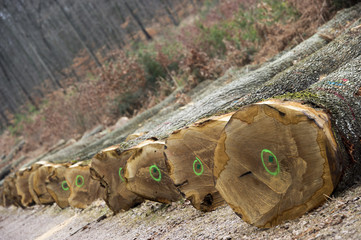 Pile of wood logs ready for barrels