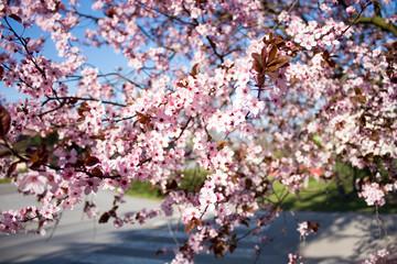 Wild cherry flower.