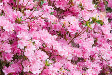 Pink Azalea Flowers at Callaway Gardens in Pine Mountain GA