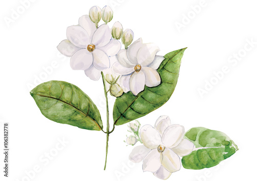 Jasmine Flowers With Leaves Isolated On White Background Vector