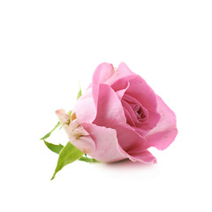 Single pink rose bud isolated