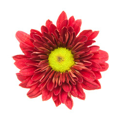 red chrysanthemum flowers isolated