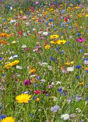 Wall Mural - Blumenwiese, Wildblumen, Flower meadow