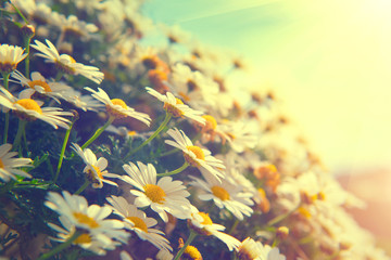 Fotoväggar - Daisy flowers. Beautiful nature scene with blooming chamomiles