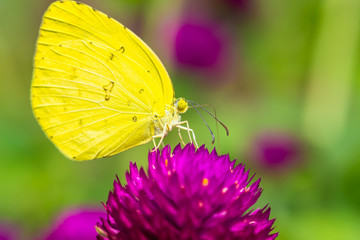 small yellow butterfly on purple flower.