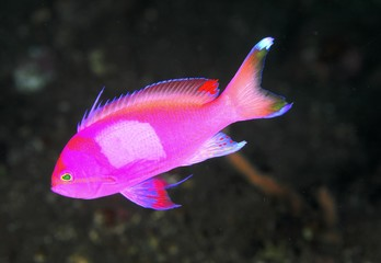 Squarespot anthias (male)