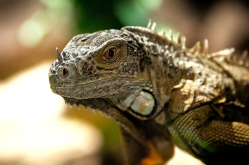 Large image of an iguana
