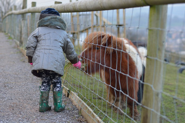 Young child feeding grass to a brown and white miniature Shetland pony. An infant girl offers food...