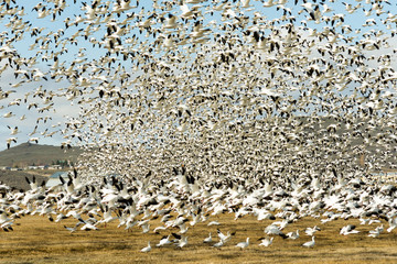 Snow Geese Flock Together Spring Migration Wild Birds