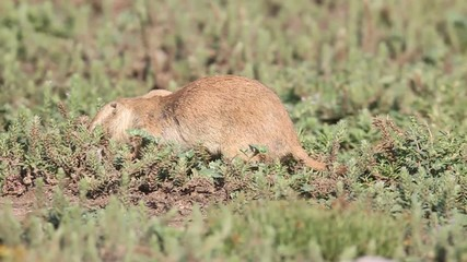 Fotoväggar - Black-tailed Prairie Dog (Cynomys ludovicianus) in Oklahoma