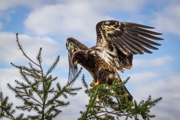 Golden eagle with spread wings