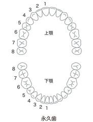 歯 歯並び 本数