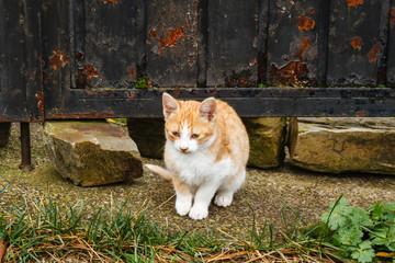 Gato sentado de color blanco y naranja. Felix catus.