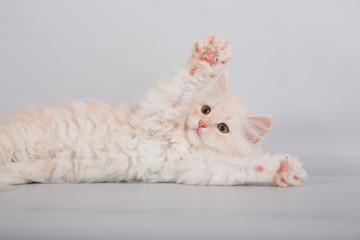Small Siberian kitten on grey background.