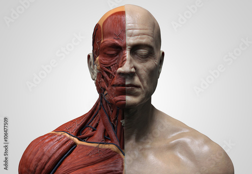 Human anatomy ecorche Male Model muscle anatomy of the face neck and ...