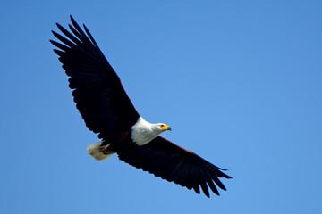 African fish eagle, Lake Naivasha, Kenya