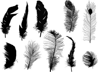 ten fluffy black feathers isolated on white