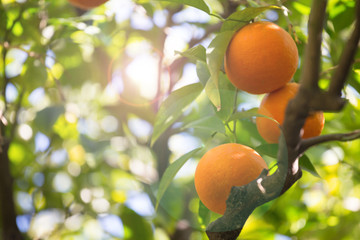 orange tree background