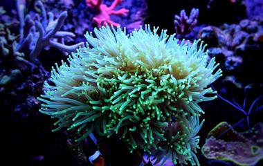 Torch Coral (Euphyllia glabrescens)