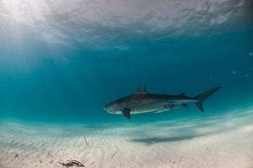 Fototapete - A tiger shark with vivid markings swimming in a clear, blue ocean