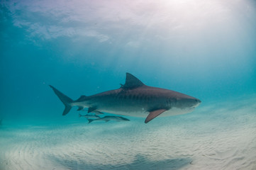 Fototapete - A tiger shark swimming along peacefully in shallow, clear water