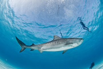 Fototapete - Tiger shark swimming peacefully past a group of scuba divers in shallow, clear water.