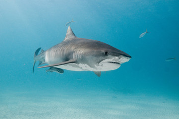 Fototapete - A tiger shark swimming alone in the shallows of a clear, blue ocean.