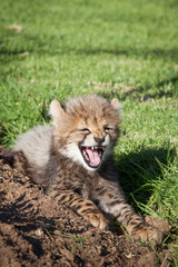 A baby cheetah resting on a reserve, letting out a big yawn