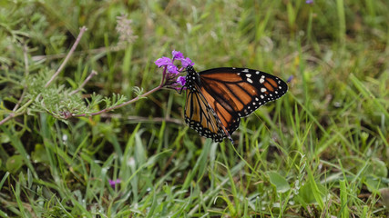 The monarch butterfly  (Danaus plexippus)