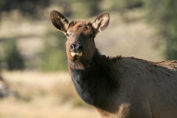 Female elk (Cervus canadensis) portrait in late afteroon light.