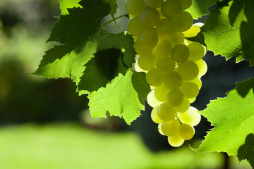 Vine and bunch of white grapes Fototapete