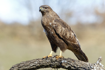 Buzzard (Buteo buteo) perched on a log