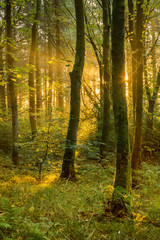 Dramatic golden light shining into forest on a summer morning.