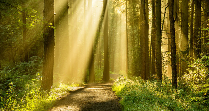 Golden rays of light shining through tree canopies on an Autumn morning with path in a forest.