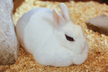 Cute rabbit with white fur is   stitting
