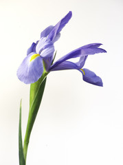 Purple iris isolated on white background