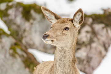 Head of a young female deer
