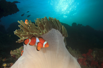 Anemone and clownfish on underwater coral reef