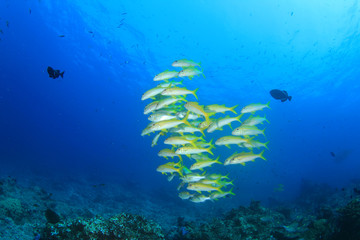 School of fish on coral reef (Yellowfin Goatfish)