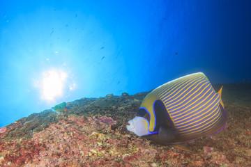 Emperor Angelfish underwater fish